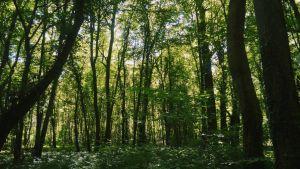 Compiègnen lehtevä metsä on yli 17300 ha:n kokoinen alue Pariisista 80 km. koilliseen.