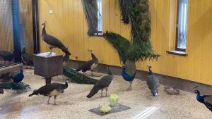 En grupp påfåglar.