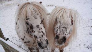 Två vita och brunprickiga minihästar står och ser rakt in i kameran. Vinter.