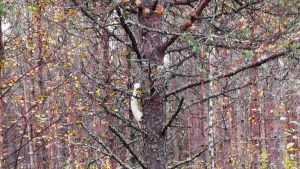 Valkoinen minkki kiipesi puuhun.