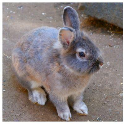 Kanin och kaninkött bredvid varandra