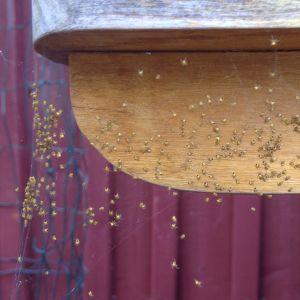 Britt-Mari undrar vad detta är för spindlar? De var gula med en svart prick på bakkroppen och ca 2-3mm.