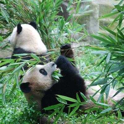 Pandor i en bambuskog