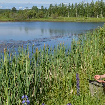 Pekka Raukko tutkii löytyykö haavista vesiluteita Lecan vedellä täyttyneiden savenottoaltaiden äärellä.
