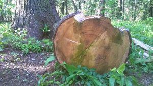 Vuosirenkaat sahatussa puussa