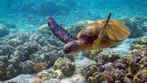 En havssköldpadda som simmar i havet.
