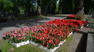 Blommor som ska planteras på Vasa gravgård