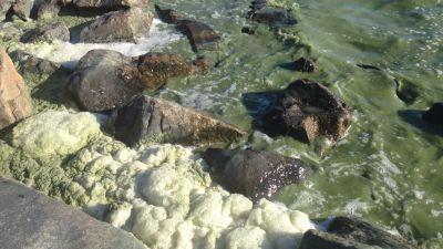 Strandskummet och strandvattnet har färgats grönt av alger. Högsåra, Kimitoön.