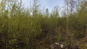 risig björkskog