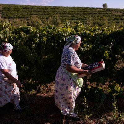 Viininkorjuuta Kosovossa