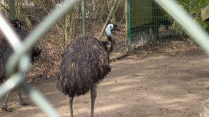 Två stycken emu-fåglar i en inhängnad.