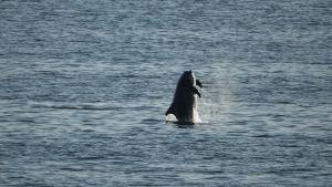 Flasknosdelfin hoppar