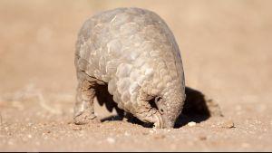 En myrkotte gräver efter mat i sanden.