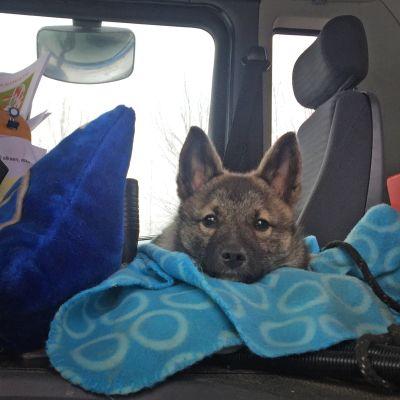 Koira tuijottaa kameraa kuorma-auton hytistä