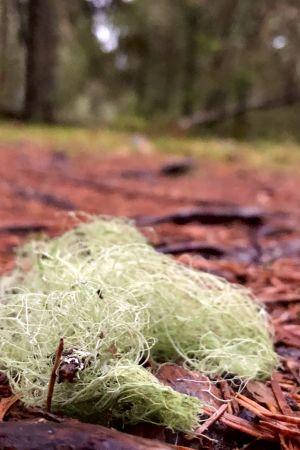 Skägglav på marken som skiftar i rött av barren. I bakgrunden skymtar skog.