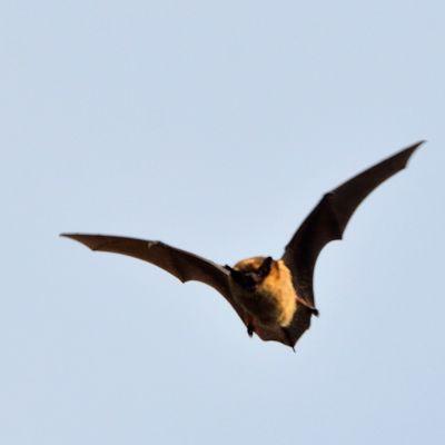 En fladdermus flyger på himlen. Den flyger mot tittaren.
