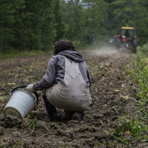 En person sitter på huk i potatislandet och en traktor kör längre bort.