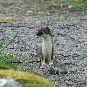 En hermelin står på en stig. Framför den ligger en död mus.