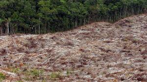 Skogsavverkning i Amazonas