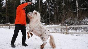 Eetu Sillanpää står i profil och håller upp ett finger som får den vita och brunprickiga minihästen framför honom att ställa sig upp på bakbenen. Vinter.