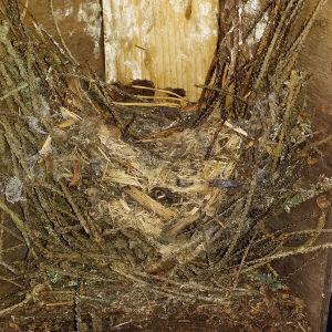 Trädkryparens gamla bo i holk.