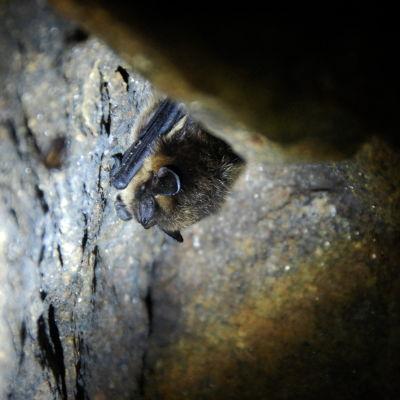 Luolassa talvehtiva pohjanlepakko
