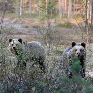 Två björnungar i skogen.
