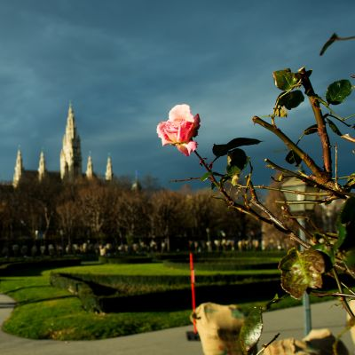 Ruusut kukkivat Volksgartenin puistossa Wienissä 22. joulukuuta.