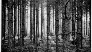 Mustavalkoinen valokuva siististä noin 50-vuotiaasta tasaikäisrakenteisesta mäntymetsästä. Puunrunkojen välistä siivilöytyy auringon valoa.