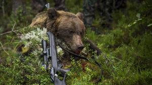 Kaadettu karhu mättään päällä.