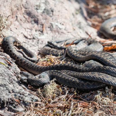 Ryhmä kyykäärmeitä lämmittelee sulan kiven päällä Rovaniemellä keväällä 2021