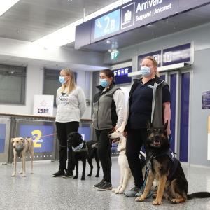 Coronahundarna Kössi, Miina, E.T och Valo med sina tränare på Helsingfors-Vanda flygplats.