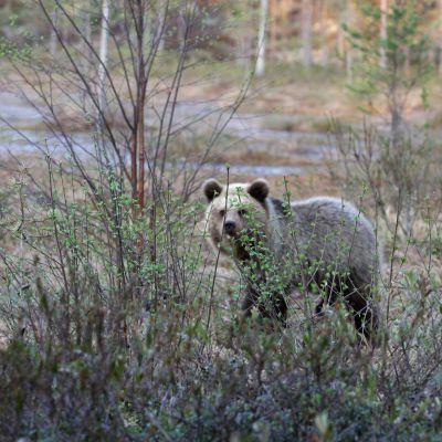 Kaksi karhunpentua soisessa maisemassa