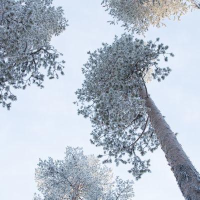 Halipuu-metsää Kittilän Veitservasassa.