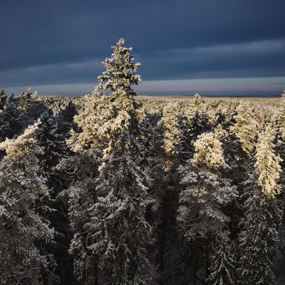 Världens högsta tall finns i denna barrskog i Estland.