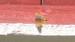 Storfläckig pärlemorfjäril, en orange fjäril med stora svarta fläckar, sitter på en rödvit ladugårdsvägg.