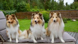 Tre stycken Shetland Sheepdogs.