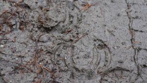 Spår efter två hästskor och en känga på en lerig sandväg.