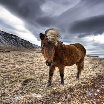 Islandshäst på Island.