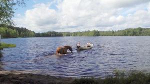 Saunan jälkeen hevonen pääsee virkistävälle uinnille