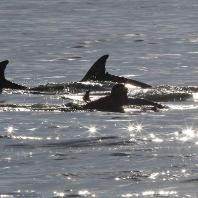 tre fenor av delfiner som simmar i vatten