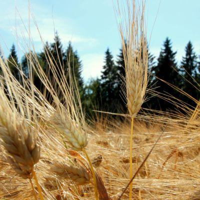 Ohra on Suomen yleisimmin viljelty viljalaji.
