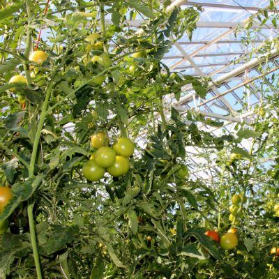 Tomaatteihin voi tulla kasvuvaiheessa poikkeavuuksia väriin tai muotoon.