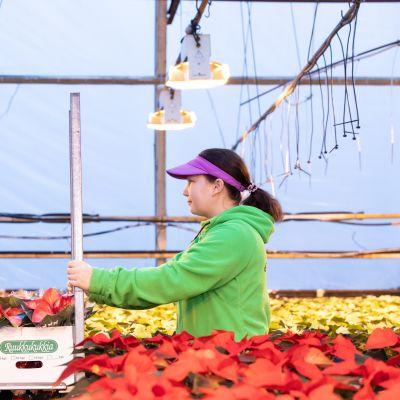Nainen työntää joulutähtiä täynnä olevaa kukkavaunua EJ-tarhoilla Soinissa