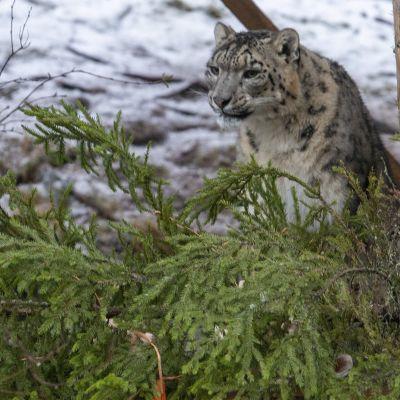 lumileopardi tarhassaan Ähtärin eläinpuistossa