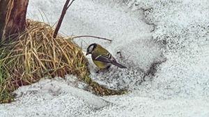En fågel i koltäckt snö.