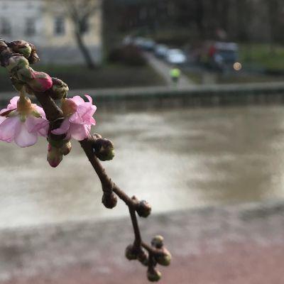 Kirsikkapuu kukkii Turun Aurajoessa 17.2.2020.