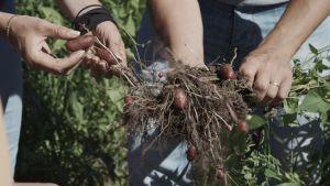 Filip och Linda gräver upp potatis i Mörskom.
