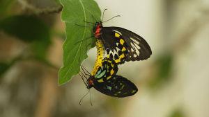 Luontodokumentti tutustuu värikkäiden ja eksoottisten perhosten elämään.