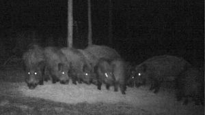 Vildsvin ute i mörka skogen